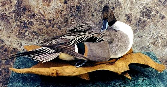 Northern pintail mount - photo#35