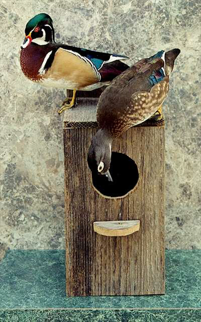 Wood duck pair standing on nesting box wild about fowl taxidermy publicscrutiny Choice Image